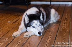 Our cousins, Ruby and Tartok, hanging with the Hu-Dad. #dog #siberianhusky #husky