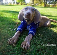 Weimaraner Puppy in Dallas Cowboys outfit! via Dolcechic.etsy.com