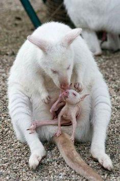 Rare White Kangaroo and Baby albino Cute Baby Animals, Animals And Pets, Funny Animals, Animal Babies, Amazing Animals, Animals Beautiful, Rare Albino Animals, Australian Animals, Tier Fotos