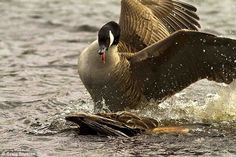 Dunked: The unfortunate bird of prey gets pushed under the water by its opponent