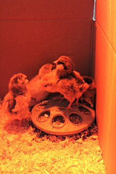 How to take care of baby chicks: Tips and tricks for your new flock! I felt as nervous as a new mom when I brought my first flock of chicks home with me. Organic Chicken Feed, Taking Care Of Baby, Baby Chicks, Our Baby, Idaho, Farm Animals, New Moms, New Baby Products, Roots