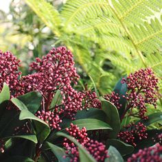 Skimmia is our October 'Plant of the Month'. A fantastically hard-working and versatile shrub, perfect for autumn-winter planting. Who else loves Skimmia? How do you use it in your garden? Wholesale Nursery, Autumn Garden, Garden Inspiration, Planting, Shrubs, Fall Winter, October, Plants, Shrub
