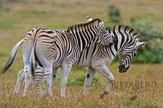 There are three species of zebras: the plains zebra, the Grévy's zebra and the…