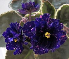 African Violet Plant Cajuns Fascinating Fury | eBay Cajun's Fascinating Fury (10580) 01/11/2013 (B. Thibodeaux) Semidouble-double blue frilled star/pink and white fantasy. Variegated medium green, cream and pink, plain, heart-shaped, serrated/red back. Standard
