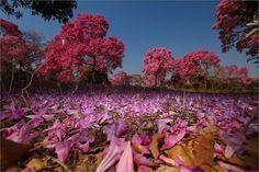 Florada de Ipê Rosa. foto:Mike Bueno. Pantanal Mato-grossense.