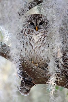 Beautiful Owl camouflaged in tree and branches.