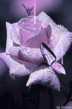 Beautiful as combine color as a butterfly to a rose