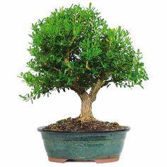 Harland Boxwood Bonsai Trees