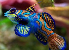 Mandarinfish (synchhiropus splendidus)  If I ever had a salt-water tank--love these!!