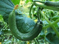 Полив огурцов содой от пожелтения листьев и увеличения урожая