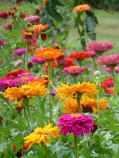Image result for blowsy zinnias