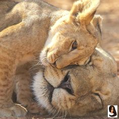 Wonderful Photo big cats and kittens Thoughts Whenever you bring a different kitten straight into your own home, regarded as exhilarating time frame, and f Animals And Pets, Baby Animals, Funny Animals, Cute Animals, Animals And Their Babies, Wild Animals, Beautiful Cats, Animals Beautiful, Beautiful Pictures
