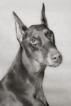 Big Scarlet. Red doberman.  This is what my beautiful Eva looks like.  I love her so much!