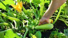 9 pravidel, jak správně pěstovat cukety. Recepty, co s cuketami dělat v kuchyni. Doporučené odrůdy cuket. Nejčastější chyby při pěstování cuket. Celery, Zucchini, Vegetables, Food, Meal, Essen, Vegetable Recipes, Hoods, Meals