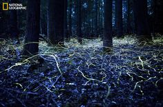 Searching For Love, By Spencer Black. Photo Location: Brevard, North Carolina. A long-exposure photograph shows the light trails created by Blue Ghost fireflies as they hover between the trees in Brevard, North Carolina.