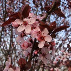 Dendroica Cerulea, en Flickr (Licencia CC). Ciruelo Japones