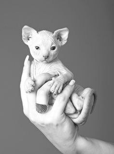 In my opinion ,these hairless cats grow up to be UGLY, but look how cute they are when they're little :)