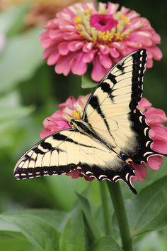 Swallowtail and Zinnia