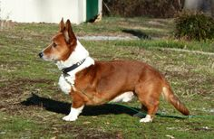 Meet Rinni, a Petfinder adoptable Welsh Corgi Dog | Enfield, CT | Rinni is a purebred Cardigan Welsh Corgi who is looking for a new forever home.  He's 8.5 years old...