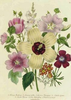 Jane Wells Loudon  From The Ladies' Flower Garden  c.1839