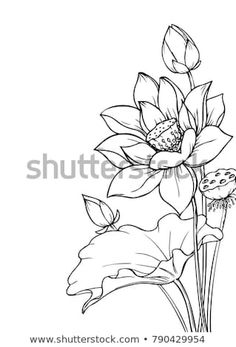 Find Ink Pencil Leaves Flowers Lotus Isolate stock images in HD and millions of other royalty-free stock photos, illustrations and vectors in the Shutterstock collection. Flower Line Drawings, Flower Sketches, Art Drawings Sketches, Lily Pad Drawing, Lotus Drawing, Lotus Painting, Lotus Flower Art, Lotus Art, Pichwai Paintings