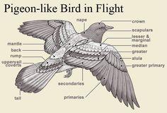 pigeon alula的圖片搜尋結果