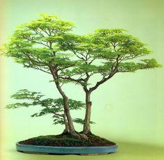 Bonsai: A arte de criar árvores em miniatura♀️More Pins Like This At FOSTERGINGER @ Pinterest ♀️