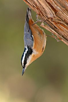 Red-breasted Nuthatch, Stittidae family. They have streaked plumage, a pointed bill w/ a lower mandible that angles upward; they like to cling to bark head down