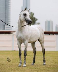 Arabian stallion Ashur