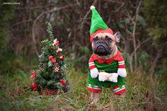 Französische Bulldogge Weihnachtswichtel / French Bulldog CHristmas