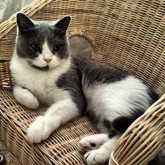 : Como una reina (: #cat #white #blue #chair #wicker #sleep #ear - @miguelondemelon