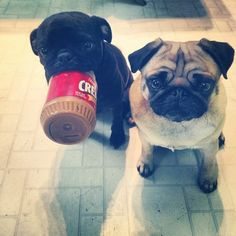You got your pug in my peanut butter! Which is fine, I guess, because this is the cutest thing in the whole  world.