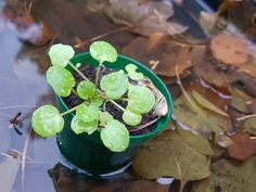 If you love the flavor of watercress, you may be wondering if you can grow them in containers and, if so, how do you grow watercress in pots? Read this article to find out more about growing watercress in containers.