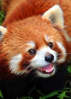 Red pandas are so adorable! Hello Kitty even has a character based on them. They were also the inspiration for the FireFox logo. wild 35 Most Colorful Animals in the World (Mammals, Birds, Insects, Reptiles. Reptiles, Mammals, Firefox Logo, Cute Baby Animals, Animals And Pets, Wild Animals, Panda Puppy, Red Panda Cute, Otters Cute