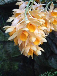 Dendrobium sulcatum at Olbrich Botanic Garden
