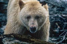 #spiritbear #wildlife ghostbearphotography.com