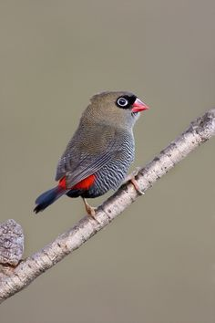 Beautiful Firetail. Photo by Craig Miller
