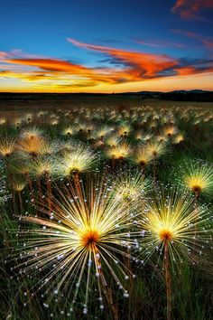 """First Place Winners of """"Seeing The Land""""  Marcio Cabral - Brazil  Title: Paepalantus wildflower at sunset Medium: Photography Size: 16mp  Note: Paepalantus wildfloweris a rare plant found only in some areas of high savanah in Brazil.  http://art-competition.net/Landscape_Photography.cfm"""