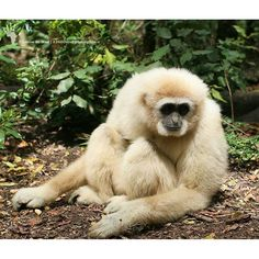 71/#366daysofmakingspace for monkey business.  Meet Atlas, the 19 year old white-handed gibbon, who lives at @saasa_monkeyland  He is a lesser ape normally found in the jungles of southeast Asia, where they are under serious threat from  deforestation.