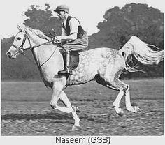 Arieana Arabians - Heritage Notebook: N (Naseem) Beautiful Arabian Horses, Majestic Horse, Arabian Stallions, Horse Ears, Cute Horses, Pretty Horses, Horse Ranch, Akhal Teke, Most Beautiful Animals
