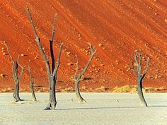 Camel thorn trees in Namibia.