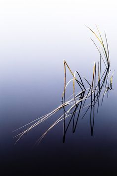 reeds in water Charlie MacBell, Black River Valley, Sweden