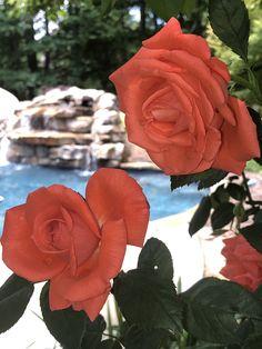 Pool Installation, Rose, Flowers, Plants, Pink, Roses, Florals, Plant, Flower