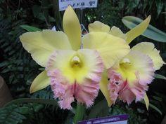 Yellow & Lavender Cattleya Orchids - jannastyleblog.com