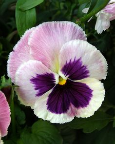 Pansy bloom