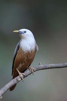 Animal Species, Bird Species, Exotic Birds, Colorful Birds, Beautiful Birds, Animals Beautiful, Birds Voice, Raven Bird, Bird Gif
