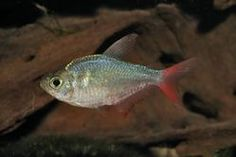 Colombian tetras, when kept in schools with good quality water, have brilliant colors, and their active schooling adds to their appeal. This is one of the larger tetras that can handle its own with bolder fishes like barbs and small cichlids. Hobbyists are often pleasantly surprised to find their school increasing in number, as the fry are as confident and assertive as the adults. They can also serve as dither or target fish because of their size, speed, and boldness. #freshwater #fish