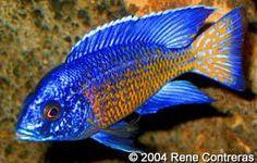 Scientific Name: Aulonocara stuartgranti (Ngara) Common Name(s): Flametail Peacock