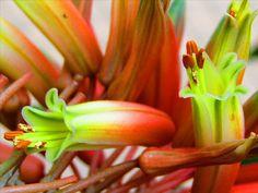 Aloe arborescens Mill. Aloe Vera, Perennials, Succulents, Plants, Green, Succulent Plants, Plant, Perennial, Planets