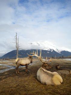 Rein deer in Alaska